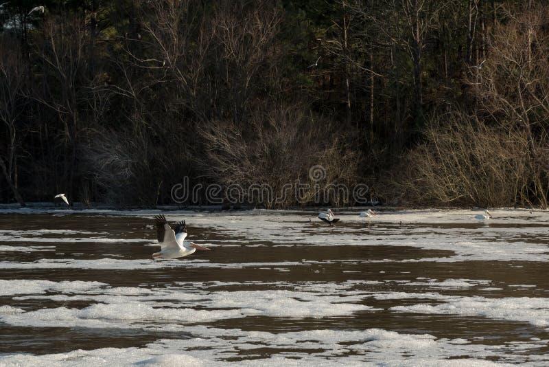 Летание пеликана над грязной, пенистой водой в зиме стоковые фотографии rf