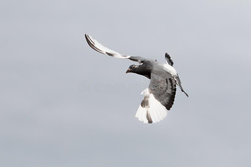 Летание птицы голубя белого полета самонаводя против ясного неба стоковые фотографии rf