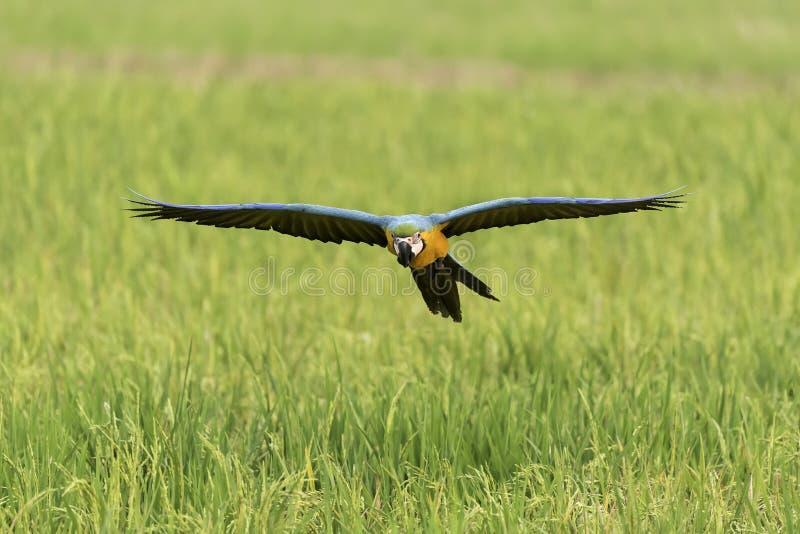 Летание птицы красоты в поле риса, действии стоковое фото