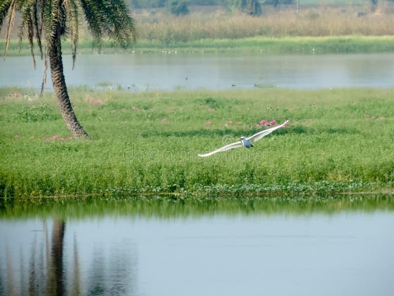 Летание птицы с рыбами в клюве стоковое изображение rf