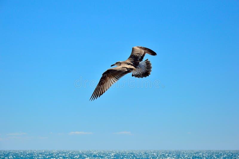 Летание птицы чайки в небе над морем стоковые фотографии rf