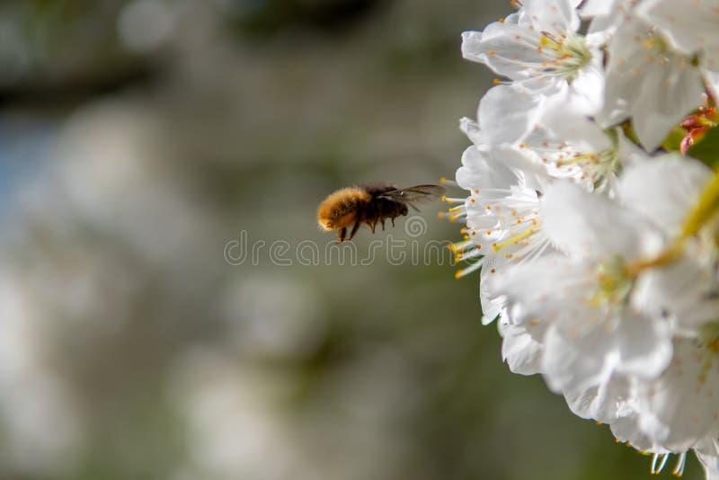 Летание пчелы на цветке стоковые фотографии rf