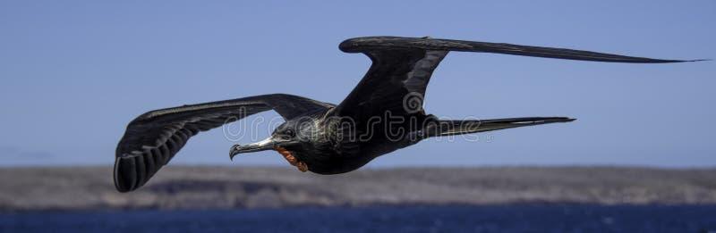 Летание фрегата Галапагос мужчины стоковые фотографии rf