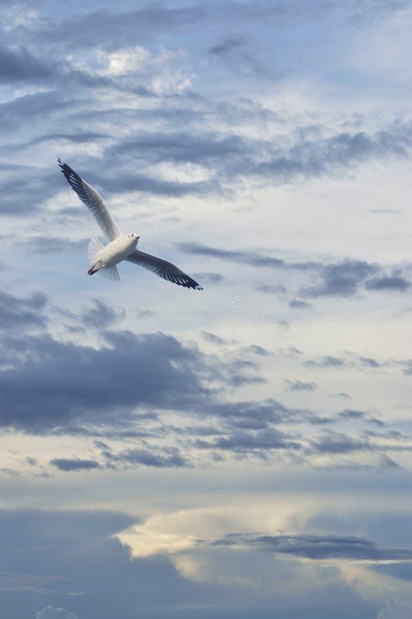 Летание чайки в небе захода солнца с облаками стоковые изображения