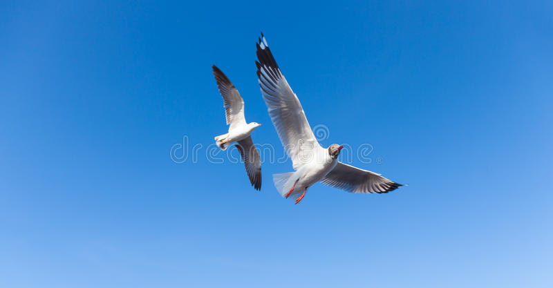 Летание чайки в небе стоковые фотографии rf