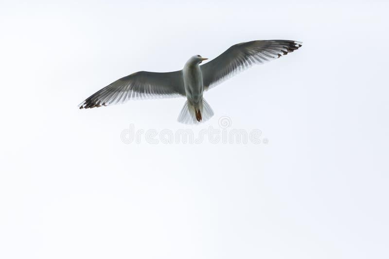 Летание чайки в небе стоковая фотография rf