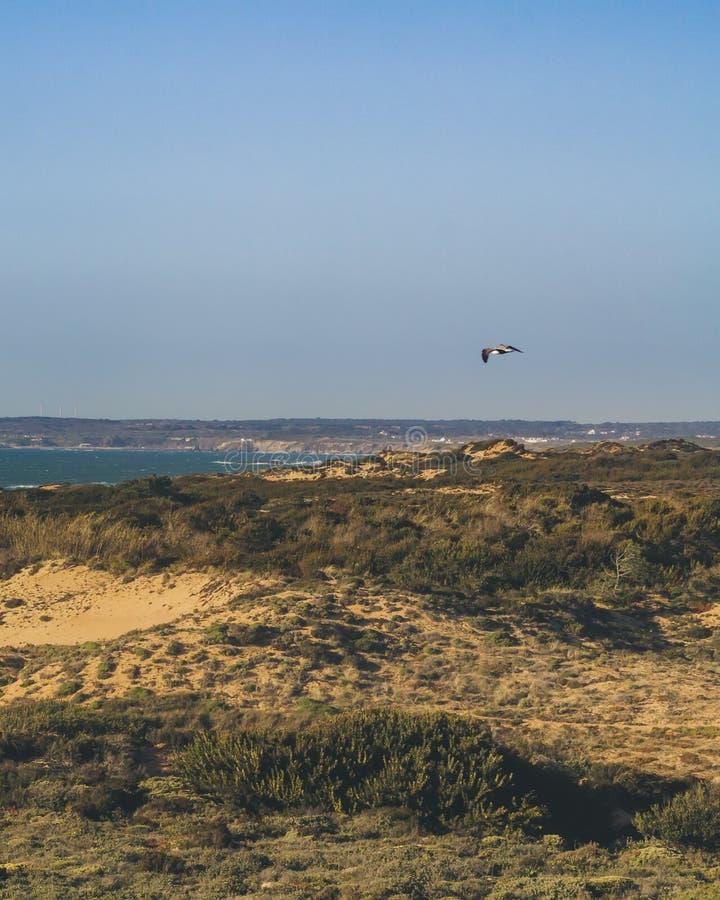 Летание чайки над дюнами приставает к берегу стоковое изображение rf