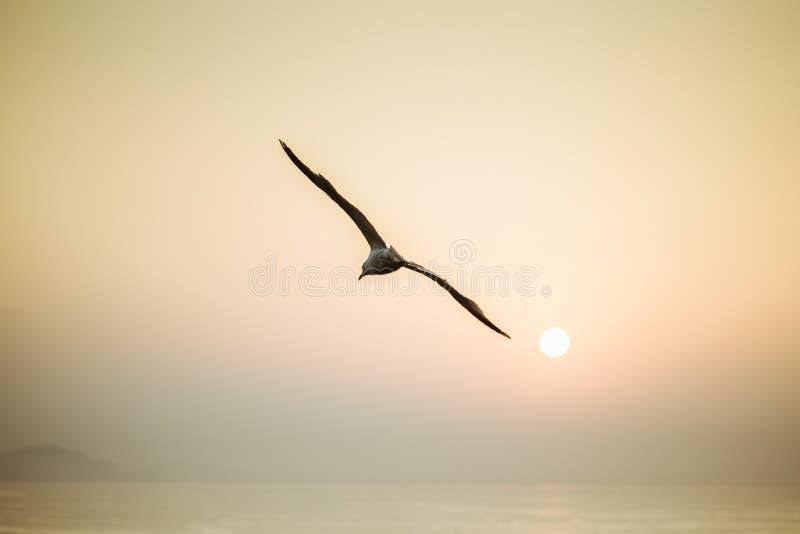 Летание чайки над морем с заходом солнца стоковые фото
