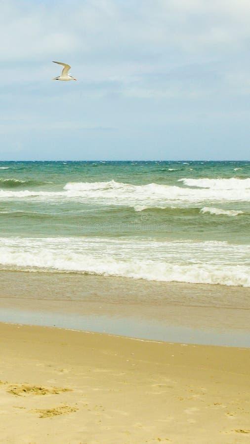 Летание чайки над пляжем с разбивать волн стоковое изображение rf