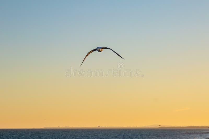 Летание чайки на заходе солнца стоковые изображения rf