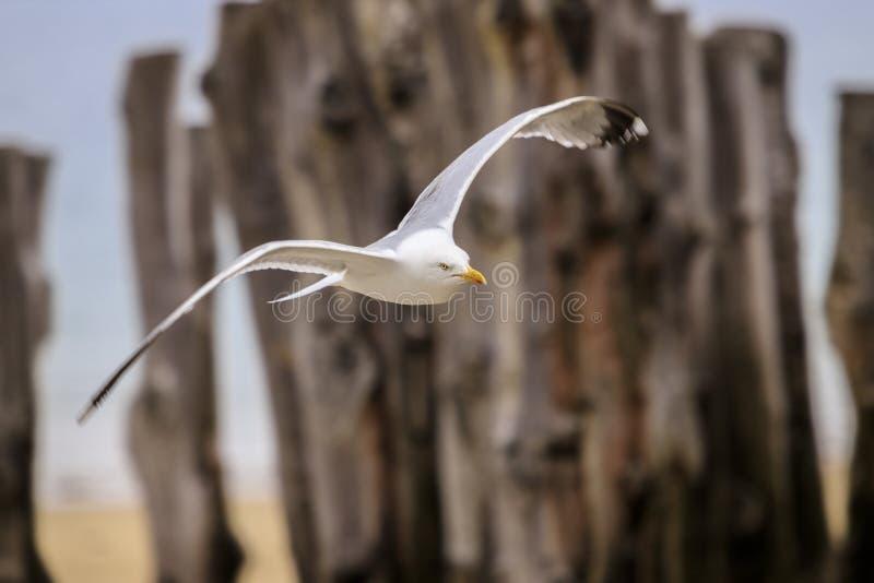 Летание чайки на пляже стоковая фотография