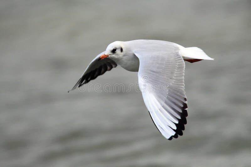 Летание чайки над рекой стоковое фото