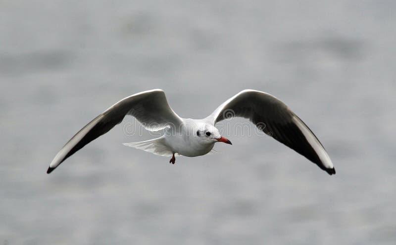Летание чайки над рекой стоковое изображение