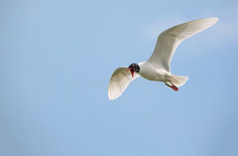 Летание чайки Средиземного моря в небе стоковая фотография