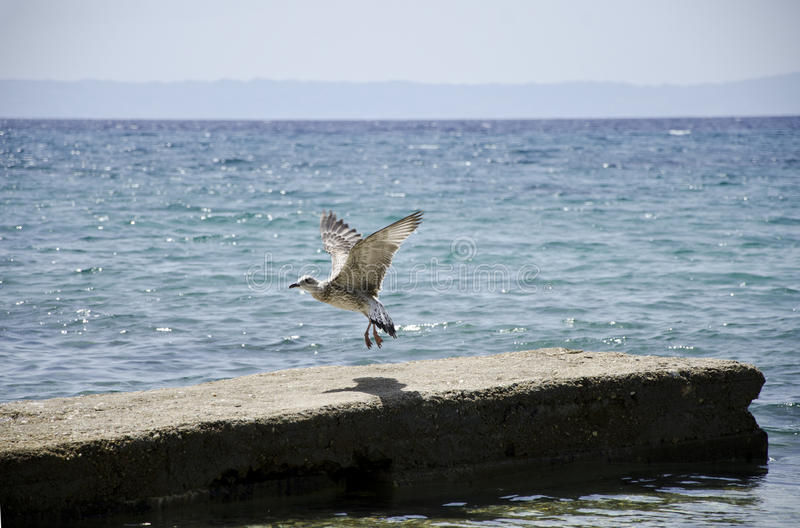 Летание чайки стоковые фото