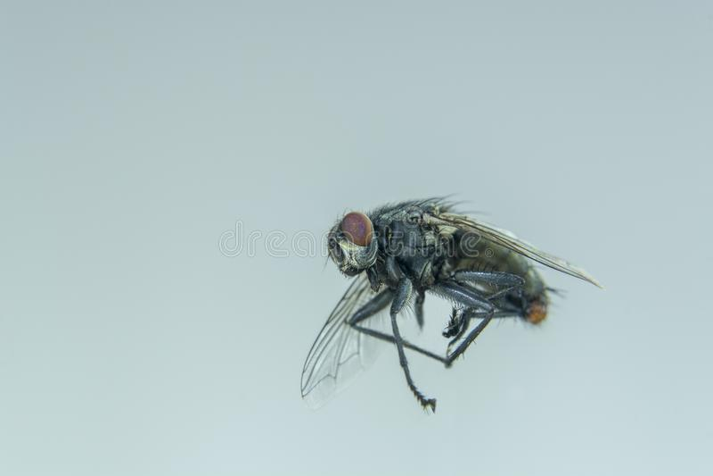Летание черной мухы в доме стоковое изображение rf
