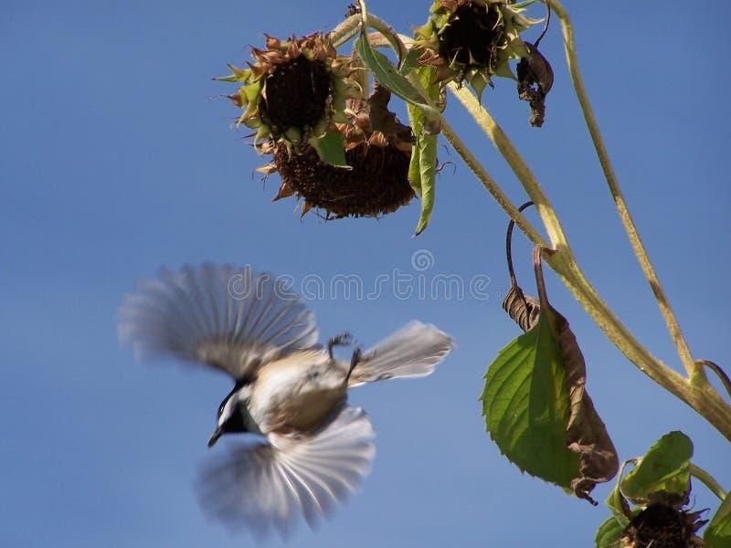 летание chickadee стоковые изображения rf