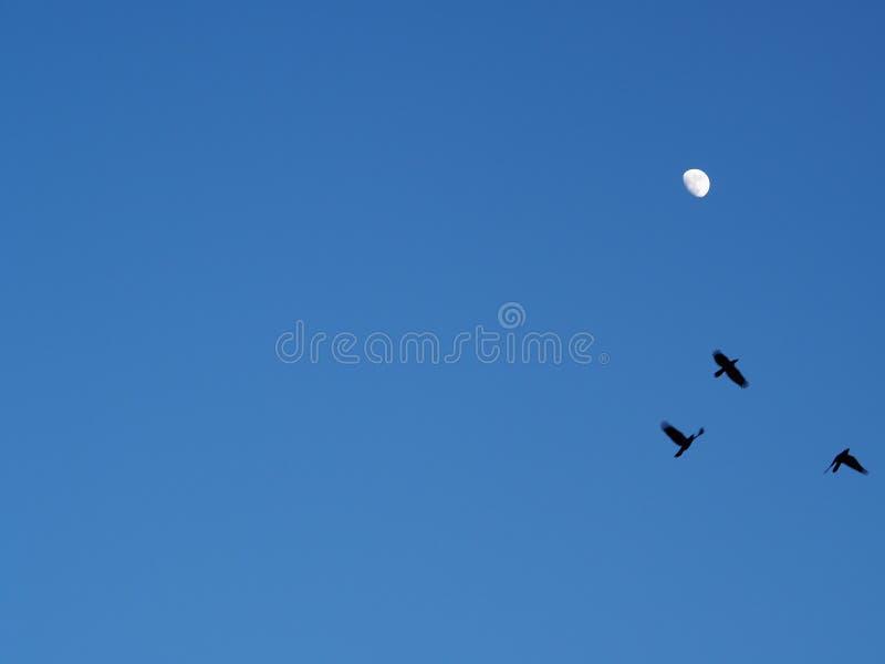 Летать 3 ворон silhouetted луной стоковое изображение rf