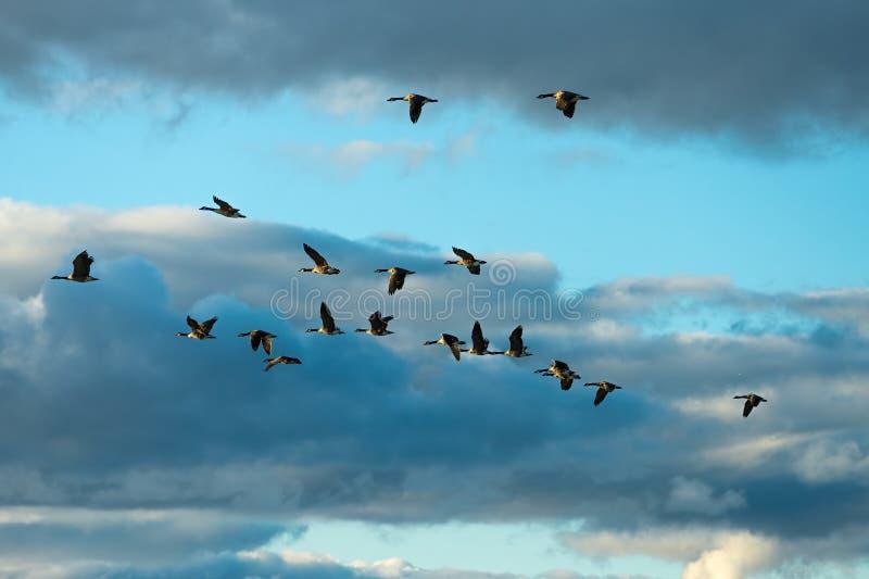 Летать гусынь Канады стоковое изображение