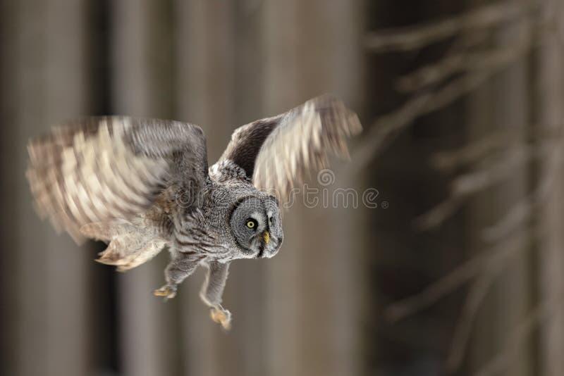 Летающ большой сыч большого серого цвета в лесе, определите птицу с открытыми крылами стоковое фото
