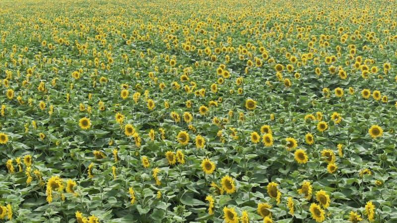 Летающ над полем солнцецвета, трутень двигая через желтое поле солнцецветов, вид с воздуха поля солнцецвета во время стоковое изображение
