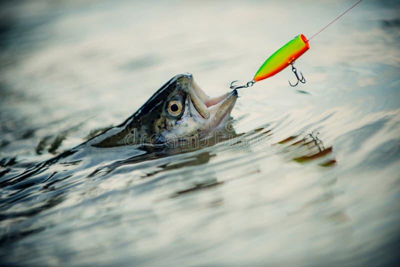 Летите рыбная ловля для форели Рыбы озерной форели Рыбная ловля стала популярной рекреационной деятельностью Форель рыболова и тр стоковое изображение rf