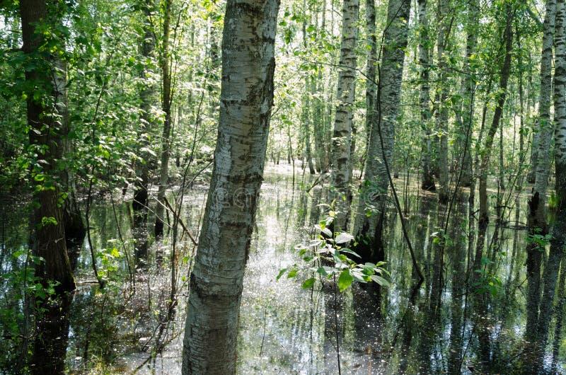 Летний день леса взгляда затопленный водой стоковое изображение