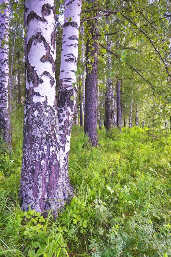 Летний пейзаж в березовом лесу стоковые изображения rf