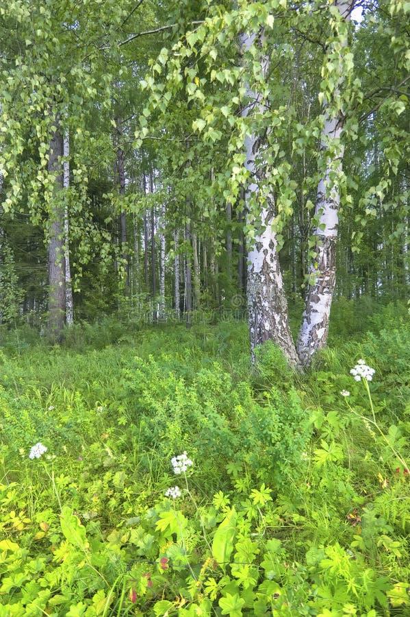 Летний пейзаж в березовом лесу стоковое фото