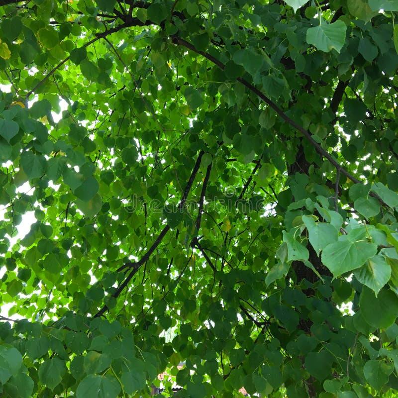 Летом ветви деревьев Линденов полны ярко-зеленых листьев стоковые изображения rf