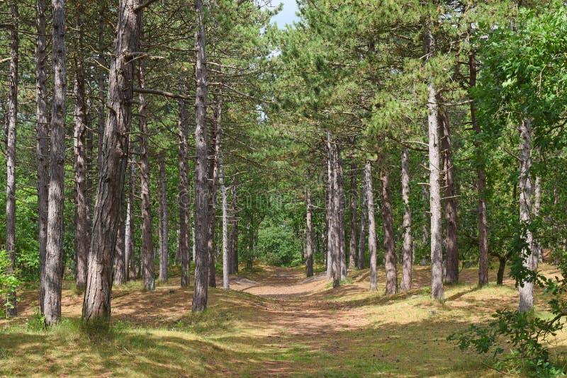 Летом лес сосен в Влиленде, на севере стоковое фото
