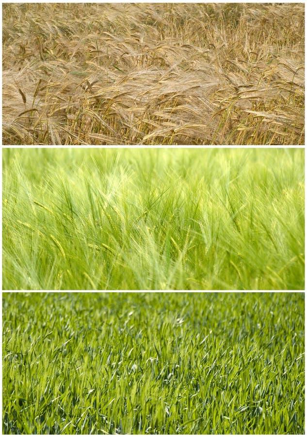 лето весны поля к пшенице стоковое фото