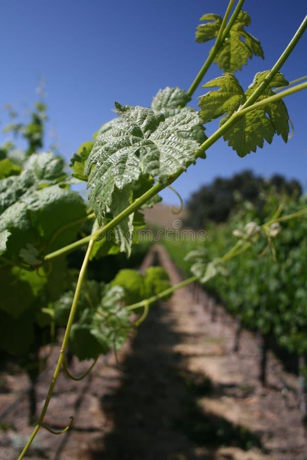 лето виноградных вин свободного полета california центральное стоковое изображение rf