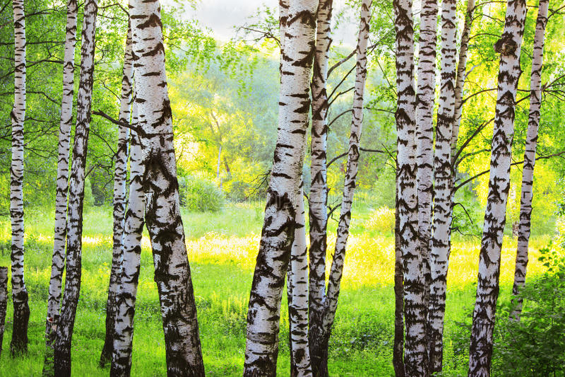 Лето в солнечном лесе березы стоковое изображение rf