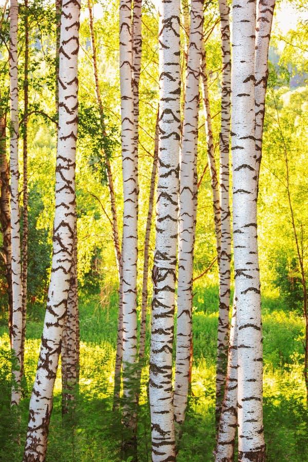 Лето в солнечном лесе березы стоковое фото