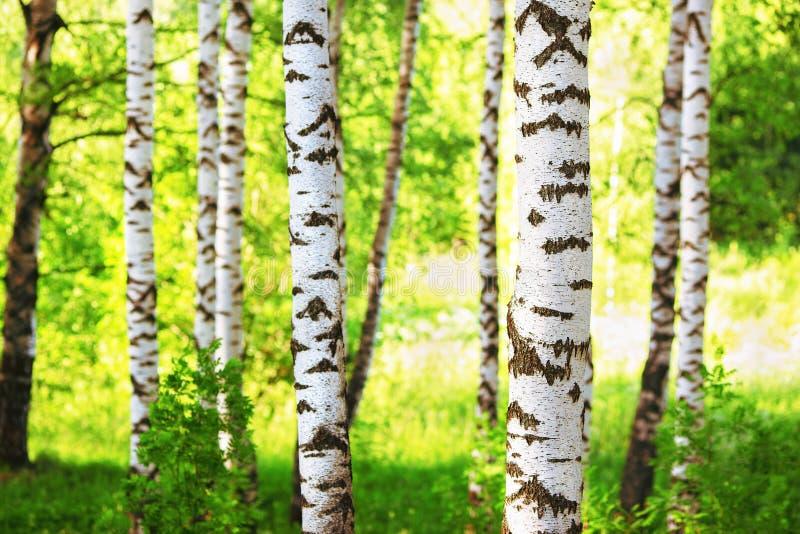 Лето в солнечном лесе березы стоковые фотографии rf