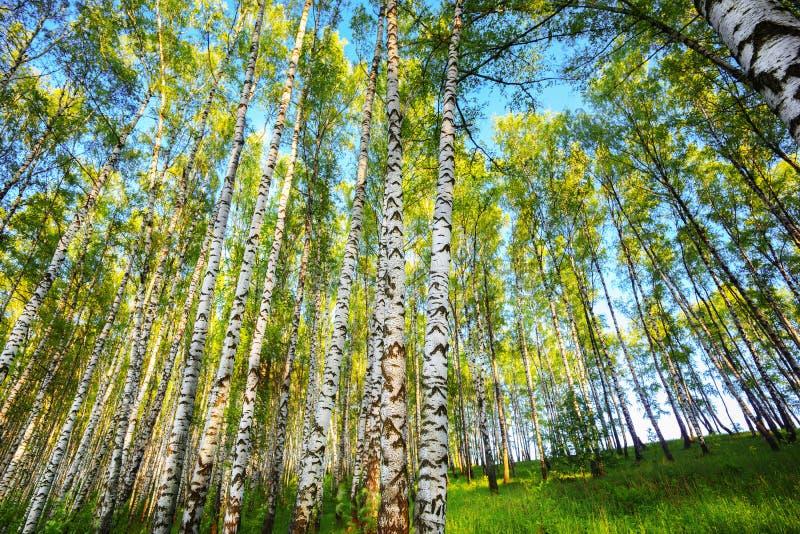 Лето в солнечном лесе березы стоковое изображение
