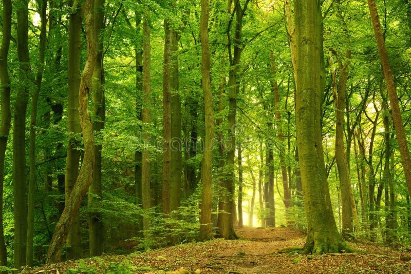 лето зеленого цвета пущи стоковая фотография rf
