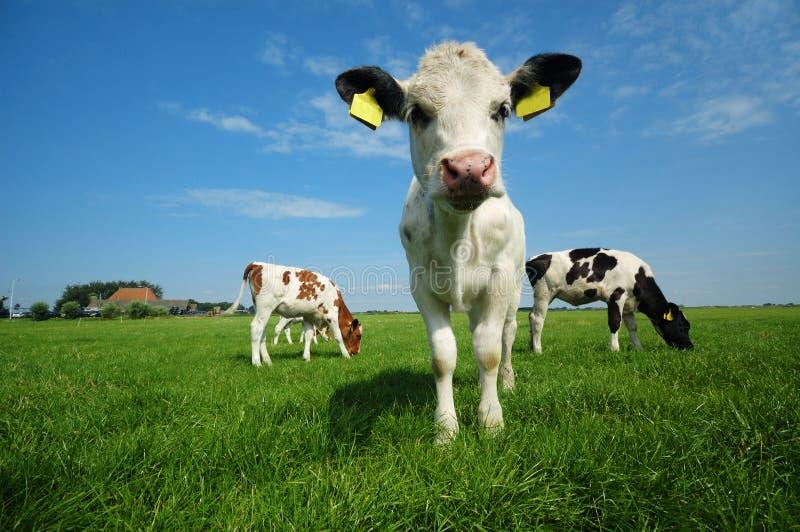 лето коровы младенца милое стоковые фото