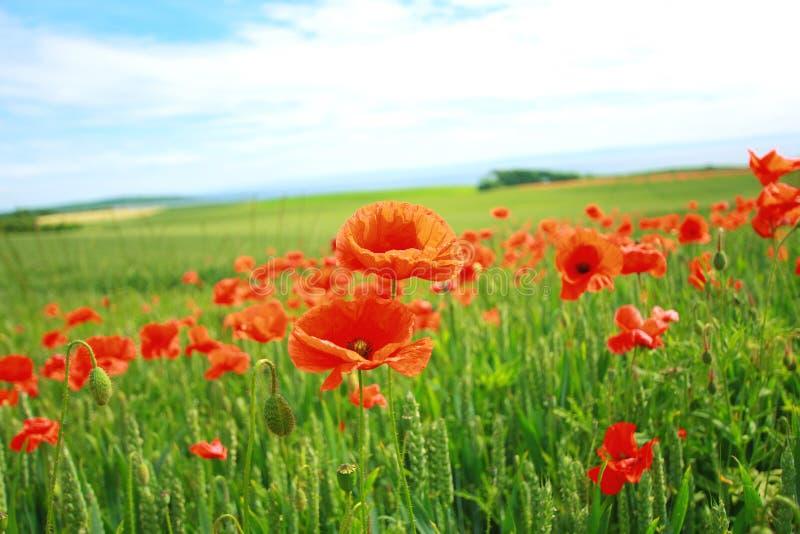 лето маков полей стоковое изображение
