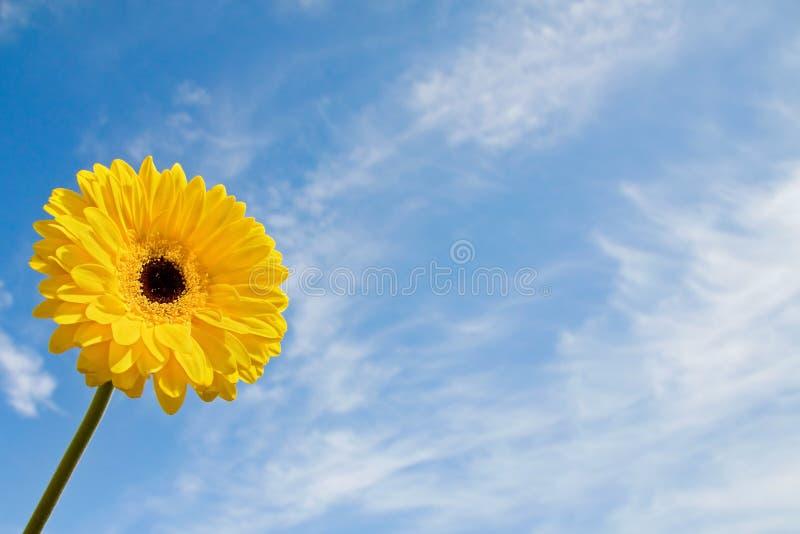 лето маргаритки красотки стоковое фото