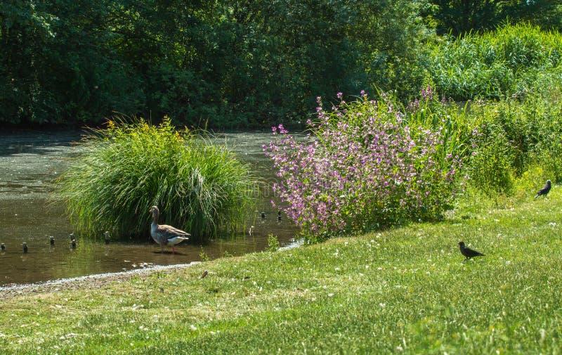 Лето озером с цветками и птицами стоковая фотография