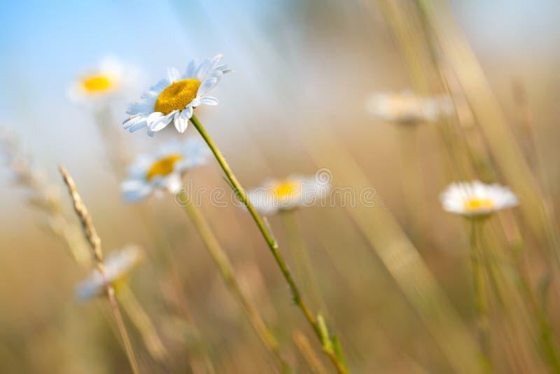 лето поля маргаритки стоковое фото