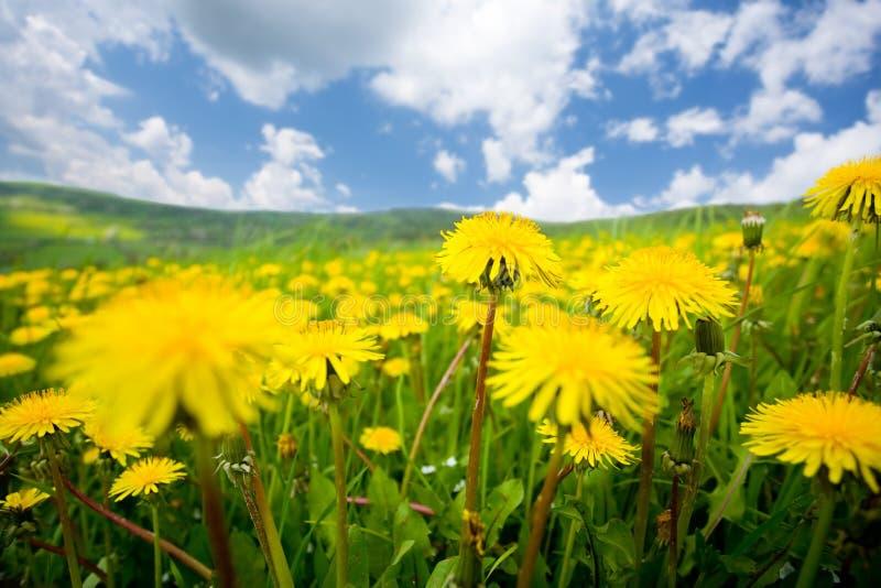 лето поля одуванчика стоковые фотографии rf