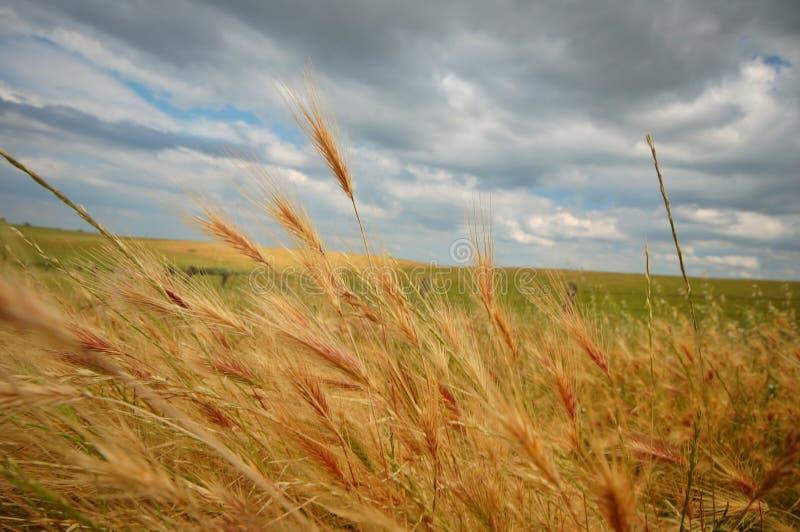 Download лето поля стоковое изображение. изображение насчитывающей отавы - 1179485