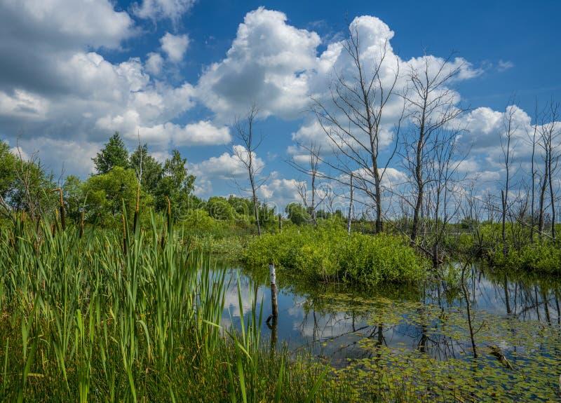 Лето, пруд перерастанный с растительностью и сухие деревья в центре пруда против голубого неба стоковые фотографии rf