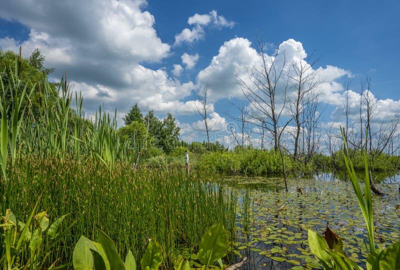 Лето, пруд перерастанный с растительностью и сухие деревья в центре пруда против голубого неба стоковое фото