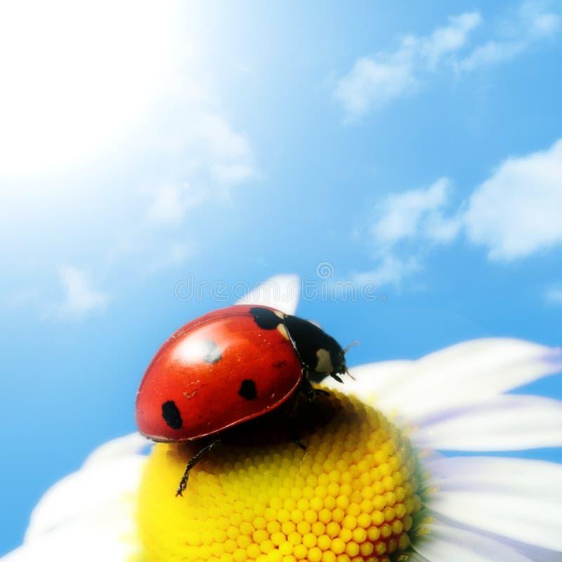 лето ladybug стоковая фотография rf