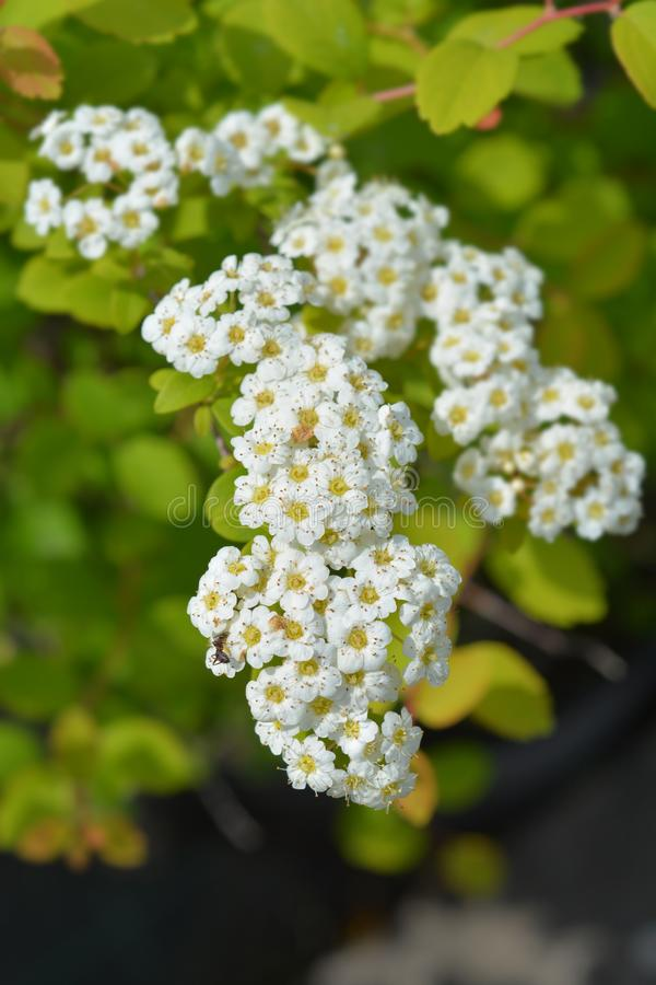 Лето spirea Tosa белое стоковая фотография rf