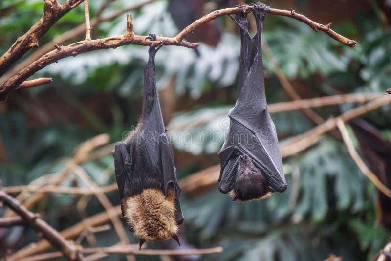 Летучая мышь в зоопарке в Аргентине стоковые изображения rf